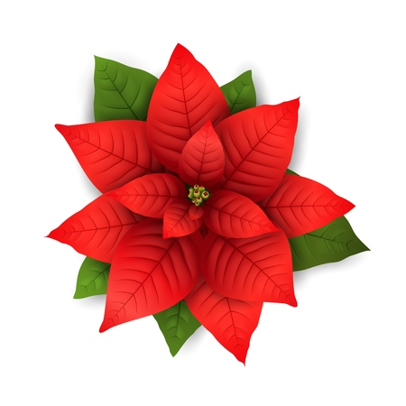 Poinsettia flowers isolated icon for Christmas or New Year greeting card design. Vector realistic poinsettia plant with star flower and leaf for Xmas winter holiday decoration 일러스트