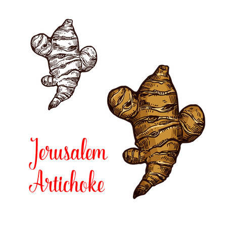 Jerusalem artichoke root vegetable isolated sketch. Brown tuber of sunroot, earth apple or topinambour veggies icon of natural organic superfood