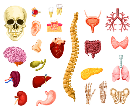 Human organs, joints and bones icons anatomy. Vector isolated brain, heart or lungs and liver with skull, spine or pelvis adn hand with foot, kidney or ear and bladder with nerve system
