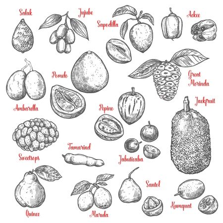 Exotic tropical fruits sketch. Vector isolated salak, jujube or sapodilla and ackee fruit with great morinda, jackfruit or pepino and jabuticaba or kumquat, tamarind and marula
