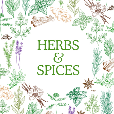Herbs and spices sketch herbal plants. Vector seasoning and flavorings of star anise seeds, ginger or cinnamon and oregano, basil and cumin or chili pepper and cinnamon with tarragon and mint Ilustração