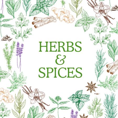 Zioła i przyprawy szkicują rośliny ziołowe. Przyprawy i aromaty wektorowe nasion anyżu gwiazdkowatego, imbiru lub cynamonu i oregano, bazylii i kminku lub papryczki chili i cynamonu z estragonem i miętą