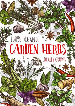 Garden herbs and natural spices, food condiments and seasoning. Basil, rosemary and ginger, thyme, chilli pepper and cinnamon, nutmeg, garlic and star anise, dill and bay leaf vector sketches Çizim