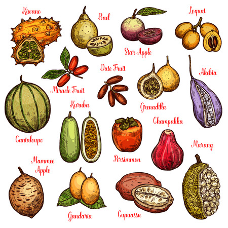 Exotic isolated fruits and ripe berries. Tropical star apple, date and persimmon, cantaloupe, kiwano and marang, grenadilla, kuruba and akebia, loquat, chambakka and miracle vector fruit sketches Illustration