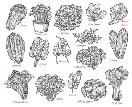 Bosquejo del vector de verduras y ensalada de hoja. Bocetos de espinaca, lechuga iceberg y romana, col china, achicoria y maíz, rúcula, acelga y acedera, bok choy, berros y batavia