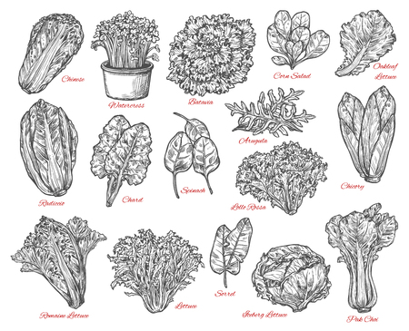 Leaf vegetable and salad vector sketch . Spinach, iceberg and romaine lettuce, chinese cabbage, chicory and corn salad, arugula, chard and sorrel, bok choy, watercress and batavia sketches Vectores