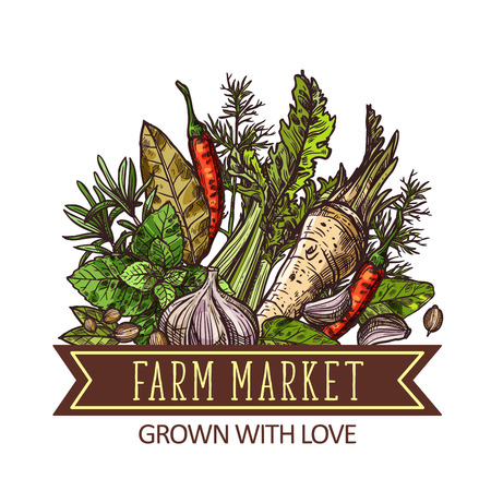 Herbs, vegetables and spices, farm market design. Green basil, chili pepper and garlic, thyme, rosemary and bay leaf, dill, celery, horseradish and coriander vector sketch Illustration