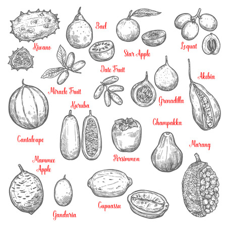 Juicy exotic fruits sketches. Kiwano and bael, star apple and loquat, date, miracle fruit, akebia and granadilla, kuruba and cantaloupe, mammee, gandaria, cupuassu and persimmon, champakka marang