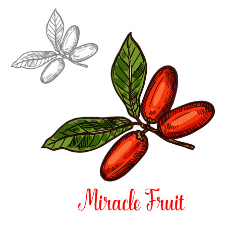 Miracle fruit branch sketch of exotic African berry. Ripe red fruit on twig with green leaf isolated icon for tropical fruit dessert, exotical diet ingredient and natural vegetarian food design