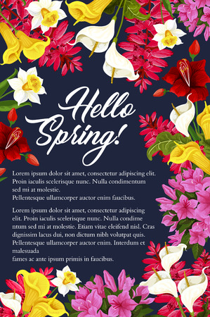Hello Spring floral poster of daffodils, tulips or garden blooming callas. Vector springtime greeting card design of pink and purple spring flowers bunches of blooming lilac or hibiscus blossoms