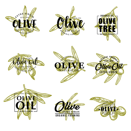 Lettrage de croquis d'olives vertes pour l'emballage de produit d'huile d'olive ou le marché agricole. Conception de calligraphie vectorielle de branches d'olivier avec récolte de fruits pour la cuisine italienne, espagnole ou méditerranéenne Vecteurs