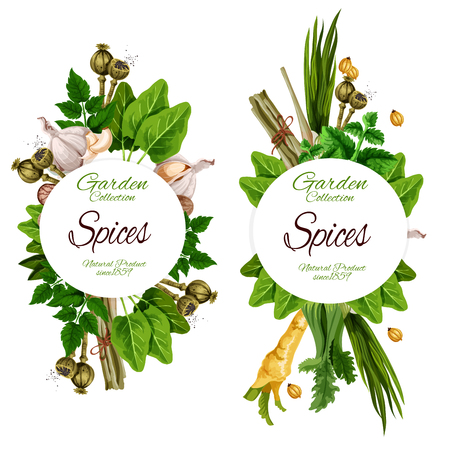 Organic spices and herbal seasonings. Vector ginger root, chicory or lavender and nutmeg, peppermint, garlic and olives, chili pepper or turmeric and sage, bay leaf