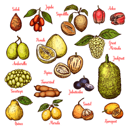 Exotic tropical fruits sketch. Vector isolated salak, jujube or sapodilla and ackee apple, ambarella or pepino fruit and jackfruit, tamarind or jabuticaba and kumquat or santol