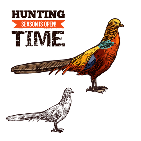 Pheasant bird colorful vector sketch, hunter society or hunt club design. Vector isolated wild forest Pheasant, bird hunt adventure Ilustração