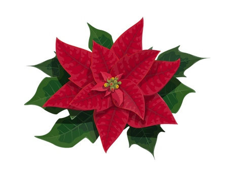 Christmas poinsettia flower of Xmas holidays festive plant with green branches and red leaves. Winter season celebration vector theme