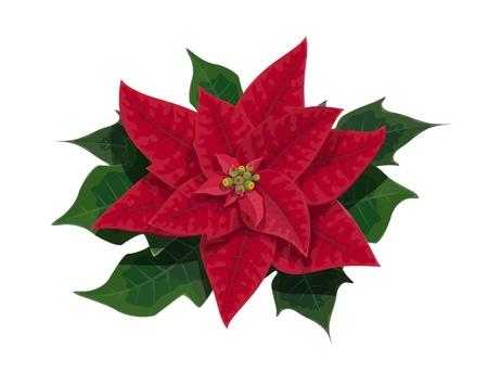 Flor de nochebuena de Navidad planta festiva de vacaciones con ramas verdes y hojas rojas. Tema de vector de celebración de temporada de invierno