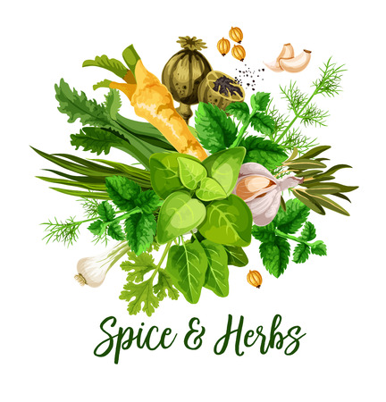 Spice and herbs, vector. Bunch of green leaf, seed, flower and roots of culinary greenery. Basil, rosemary and mint, garlic, parsley and green onion, dill, coriander and celery, horseradish and poppy Illustration