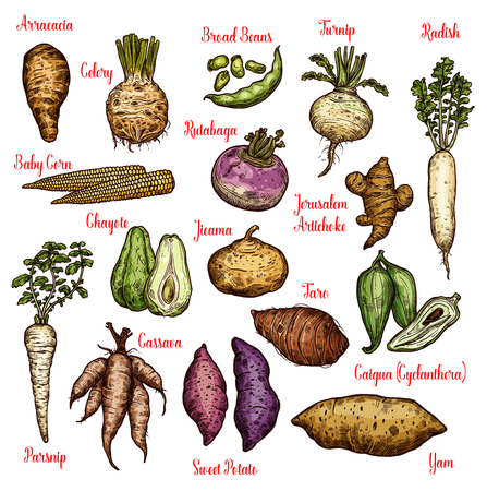 Vegetables sketches with taproots, beans and tubers of exotic plants. Radish, yam and celery, sweet potato, turnip and parsnip, baby corn, broad bean and rutabaga, taro, chayote, jerusalem artichoke Stok Fotoğraf - 128161627