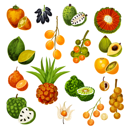 Vector exotic tropic fruits pandan or pandanus, longkong and soursop apple, mombin and naranjilla, jambolan and bergamot fruit, lucuma or tangerine and physalis, cherimoya and cashew