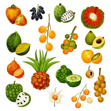 Vector exotic tropic fruits pandan or pandanus, longkong and soursop apple, mombin and naranjilla, jambolan and bergamot fruit, lucuma or tangerine and physalis, cherimoya and cashew
