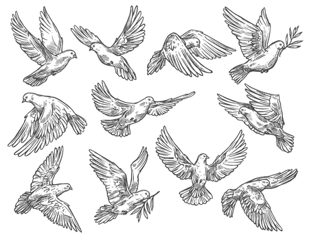 Dove and pigeon flying with olive branches. White vector sketch bird with broad wings, as symbol of peace and freedom, religious or wedding attribute in motion, monochrome isolated sketch
