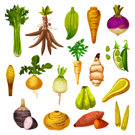 Root vegetables or veggie tuber icons. Vector sweet potato, radish or turnip and legume bread beans, natural jicama and cassava, manioc or celery and rutabaga, caigua and yam, little corn Ilustração