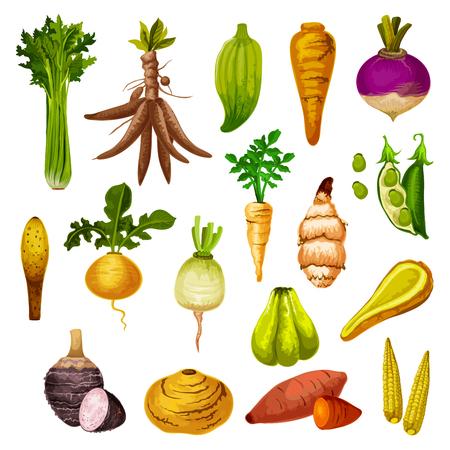 Symbole für Wurzelgemüse oder Gemüseknolle. Vektor-Süßkartoffel-, Rettich- oder Rübe- und Hülsenfrucht-Brotbohnen, natürliches Jicama und Maniok, Maniok oder Sellerie und Steckrüben, Caigua und Yamswurzel, kleiner Mais