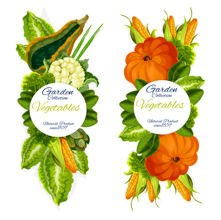 Vegetables from garden, natural harvest. Vector pumpkin and basil, cabbage and corn, cauliflower and leek, broccoli and artichoke. Natural vegetarian food and greenery seasoning banners