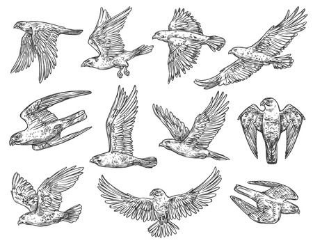 Eagle, hawk and falcon sketches with flying birds of prey. Ilustração