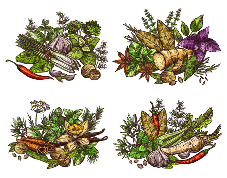 Spices, vegetable seasonings, herbs and condiments sketches. Chili pepper, parsley and garlic, cinnamon, ginger root and vanilla flower, bay leaf, nutmeg and basil, thyme, rosemary and dill. Vector