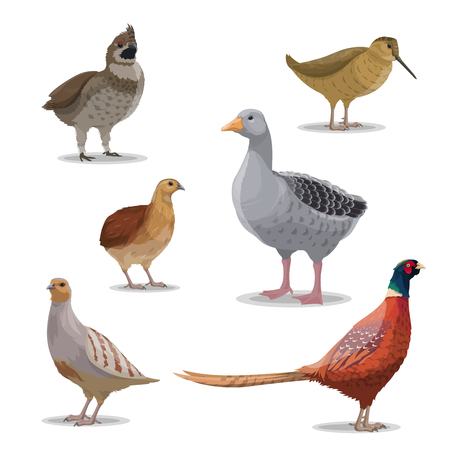 Birds species, hunting season, poultry isolated vector. Goose and grouse, woodcock and pheasant, quail and partridge. Forest winged and feathered animals with bright plumage, realistic wildfowl Stock Vector - 125283680