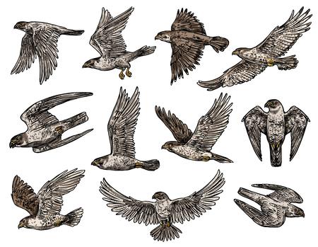 Aigle et faucon, faucon et vautour, vecteur d'oiseaux isolés en vol. Vector prédateurs sauvages, style héraldique, symbole de noblesse et de puissance ou de force, bête agressive avec des griffes Vecteurs