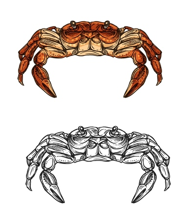 Crab sea animal  sketch of red crustacean from front view