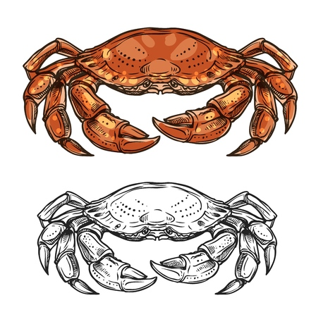 Crab sea animal sketch of marine shellfish vector design. Ocean crustacean with red claws, pincers, carapace and walking legs. Seafood, underwater wildlife, mediterranean cuisine restaurant menu theme