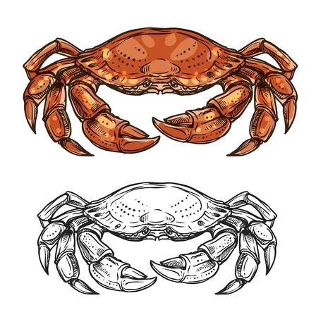 Crab sea animal sketch of marine shellfish vector design. Ocean crustacean with red claws, pincers, carapace and walking legs. Seafood, underwater wildlife, mediterranean cuisine restaurant menu theme