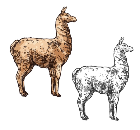 Alpaca or lama sketch mammal animal. Vector South American mammal, Cinco de Mayo Mexican traditional holiday and zoo symbol, isolated alpaca llama