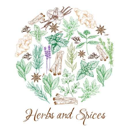 Herbs and spices, sketch seasonings and cooking condiments. Vector organic cinnamon and vanilla flavoring, culinary peppermint and anise, farm basil and sage herbs, savory or rosemary spice and cloves Illustration
