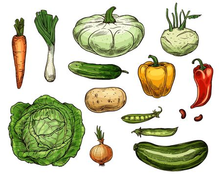 Vegetable sketches, isolated food. Vector farm carrot and green onion, cabbage and potato, pea and red yellow pepper, zucchini and patty pan squash, cucumber and beans, kohlrabi veggies