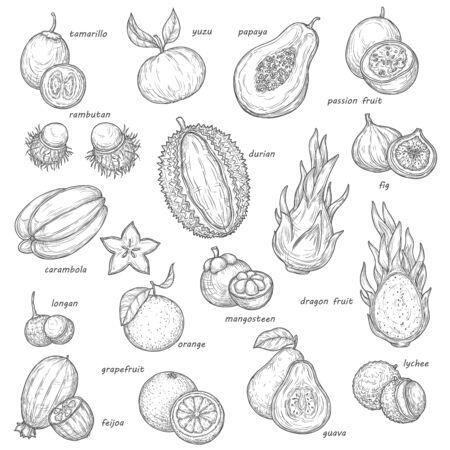 Exotic fruit and berry sketches. Vector tropical orange, papaya and fig, carambola, feijoa and lychee, grapefruit, passion and dragon fruits, guava, longan and rambutan, durian, mangosteen and yuzu Banque d'images - 132760286