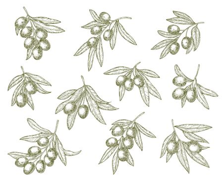 Organic olives branch sketches, quality food and olive oil products. Vector Greek Mediterranean cuisine green olives harvest, extra virgin oil or natural cosmetic symbols
