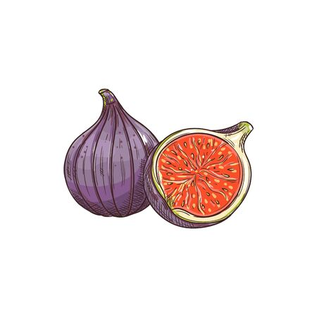 Common fig fruit isolated sketch. Vector tropical common fig whole and half