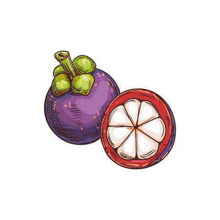 Mangosteen fruit isolated sketch. Vector exotic tropical purple mangosteen whole and peeled