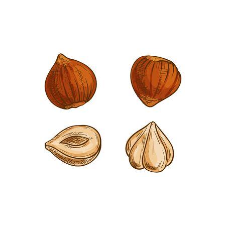 Croquis isolé de noix de noisetier, de cobnut ou de noisette. Noix d'aveline pelées de vecteur Vecteurs