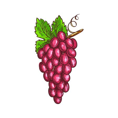 Bunch of pink grape isolated ripe red berries. Vector muscat or cardinal grapes, berries on cluster