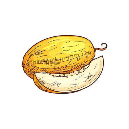 Yellow ripe melon isolated sketch. Vector tropical food dessert, muskmelon fruit Ilustração