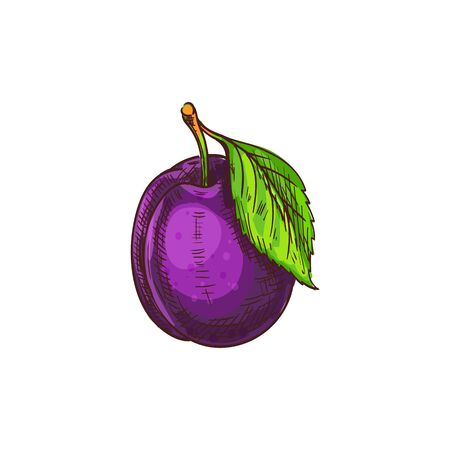 Plum isolated fruit with leaf sketch. Vector summer food dessert, prune berry 向量圖像
