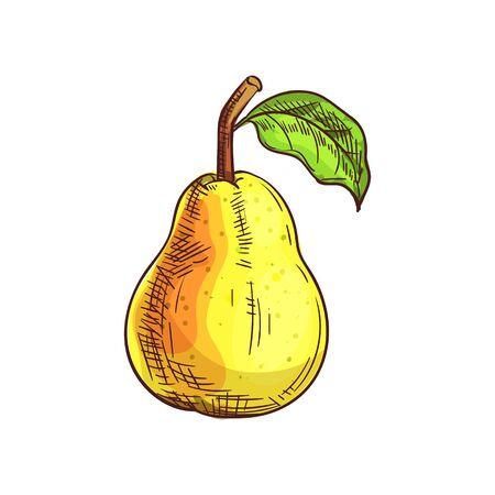 Birne isolierte Fruchtskizze. Vektor-Sommer-Food-Dessert, Bartlett oder Williamsbirne