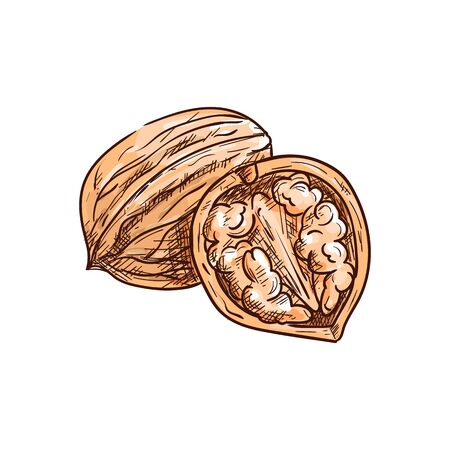 Walnut in nutshell and open with kernel isolated sketch. Vector drupe edible seed in nut, food snack 版權商用圖片 - 137235213