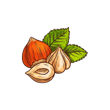 Forest nut with leaves isolated hazelnuts sketch. Vector filbert cobnut with green leaf, natural food Иллюстрация