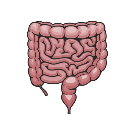 Human intestines, digestive system vector. Cross gut, small intestine and rectum isolated